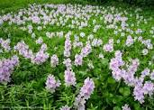 pmc water hyacinth